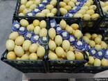 Цитрусовые Лимон Апельсин , Фрукты - фото 6