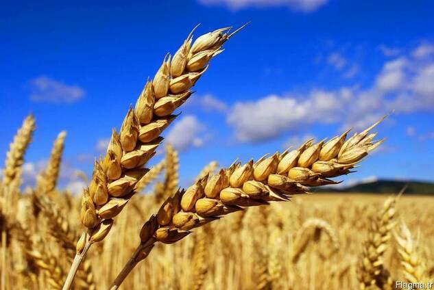 wheat DURUM