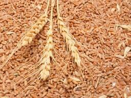 Продам пшеницу ( 2.3.4.5. класс ) FOB