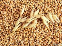 Wheat / пшеница/ 2,3,4,5 grade