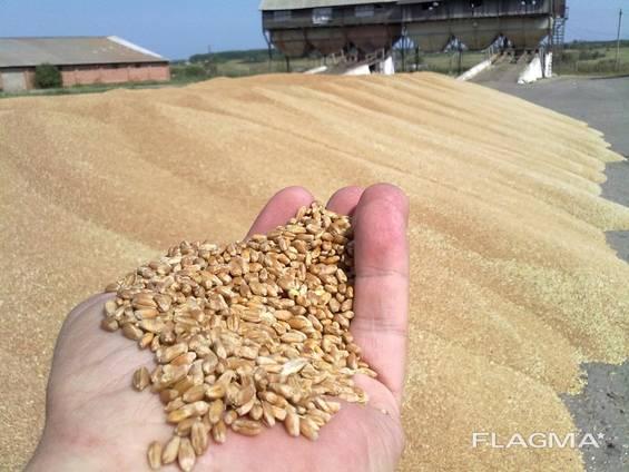 Чечевица, пшеница, ячмень