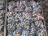 Черный виноград «ПРИМА» (поставка с 28 недели) - фото 3