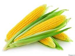 Greenfield Incorporation sells Yellow Corn / wholesale