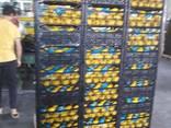 Лимоны из солнечной Турции - фото 4
