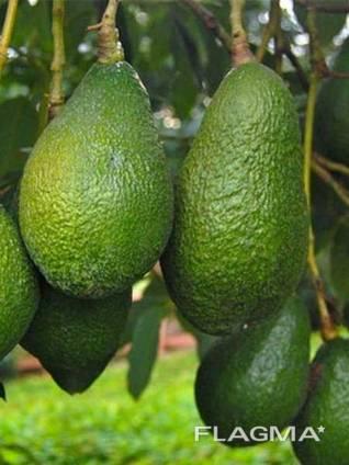 Наши продажи авокадо начались