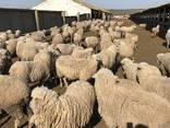 Продаем овцы с Украины - фото 1