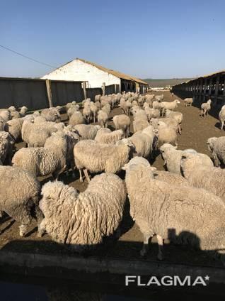Продаем овцы с Украины