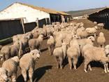 Продаем овцы с Украины - фото 2