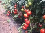 Продаём помидоры сорт высокого из Турции - фото 4