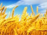Пшеница, 2-й, 3-й класс, фураж FOB Одесса - фото 1