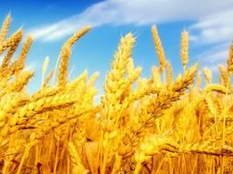 Пшеница, 2-й, 3-й класс, фураж FOB Одесса