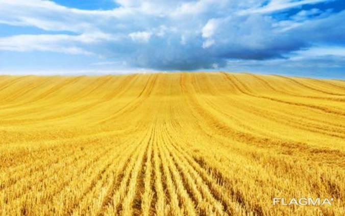 Российская. пшеница (12,5 прот. 25% клейков)