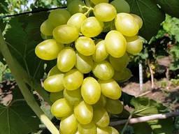 Виноград кишмиш (Султан)